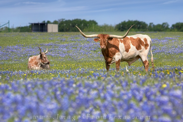 Longhorns and Bluebonnets on a Spring Morning 4