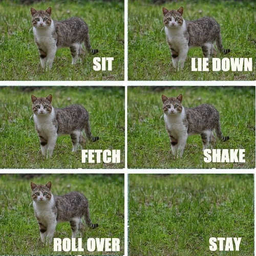 cat-sit-fetch-shake-roll-over-stay