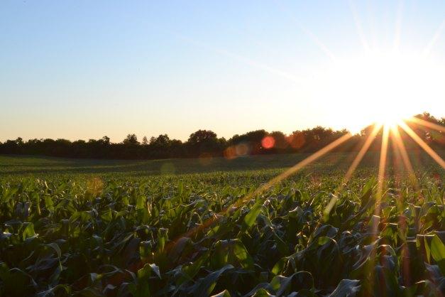 ottumwa-corn-field
